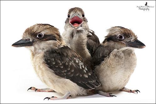 Kookaburra Siblings