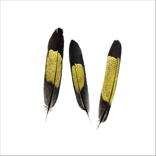 Yellow-tailed Black Cockatoo Feather Study