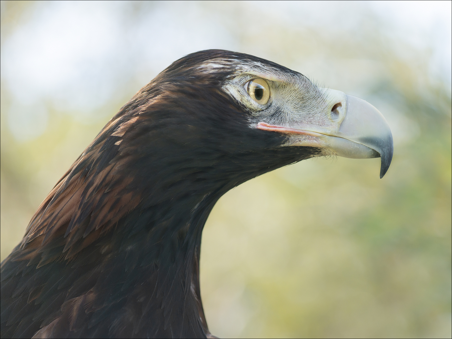 Tilka, Wedge-tailed Eagle