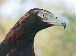 Tilka, Wedge-tailed Eagle