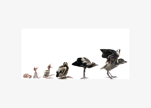Steve, Magpie, Growth Progression - Matted Print