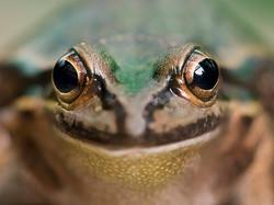 Green & Golden Bell Frog