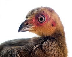 Brush Turkey Chick