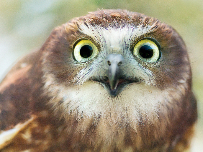 Boo, Boobook Owl