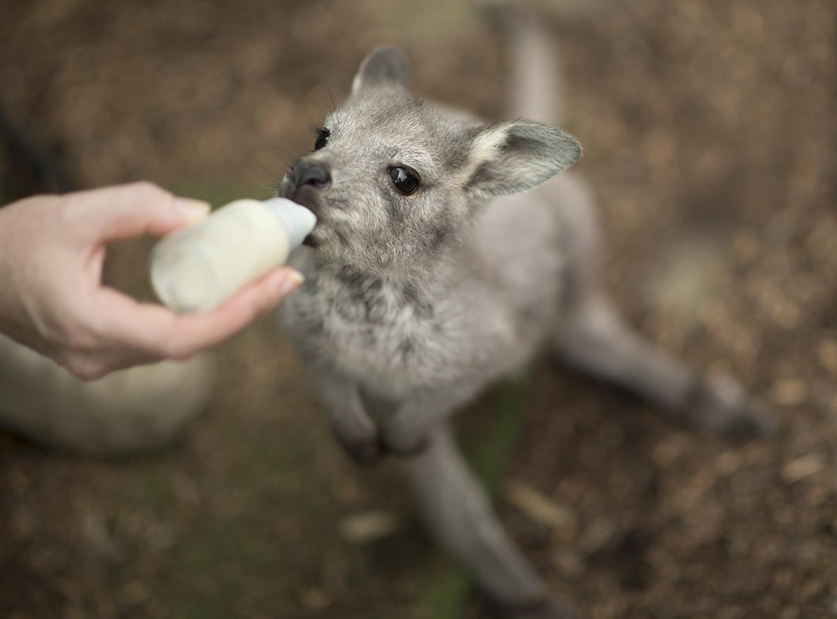 Baby wallaroo