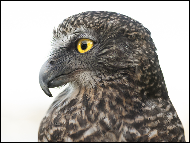 Nangaw, Powerful Owl
