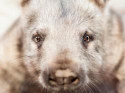 Meg, Hairy Nose Wombat