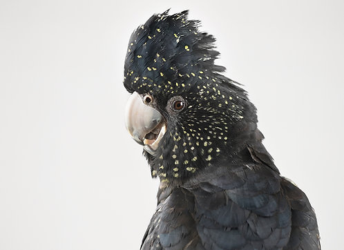 Ruby, Red-tailed Black Cockatoo