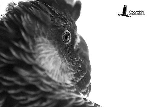 Carney, Carnaby's Cockatoo