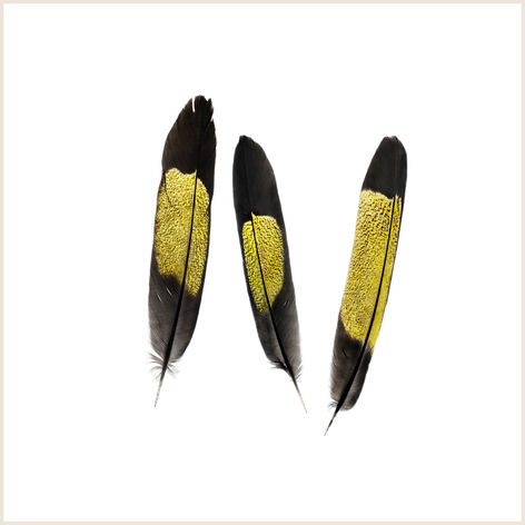 Yellow-tailed Black Cockatoo Feathers