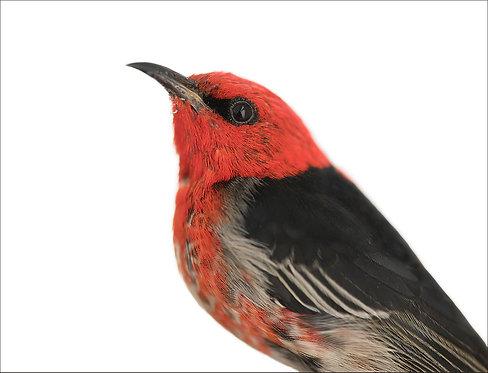 Scarlet Honeyeater (Male)