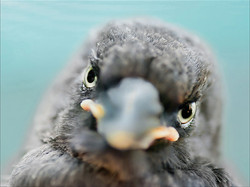 Squeak, Baby Currawong