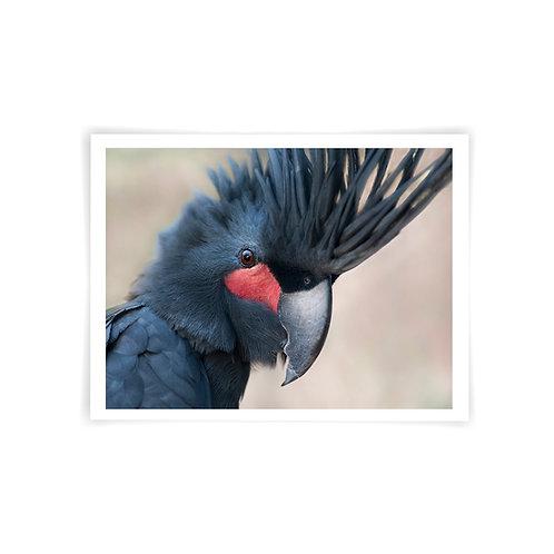Seisia, Palm Cockatoo