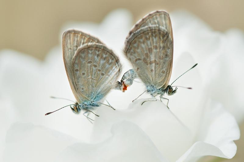 Mating Grass Blues