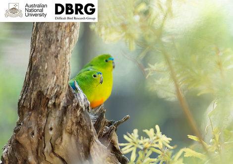 2 Orange-bellied Parrots