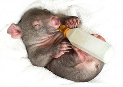 Teddy, Wombat