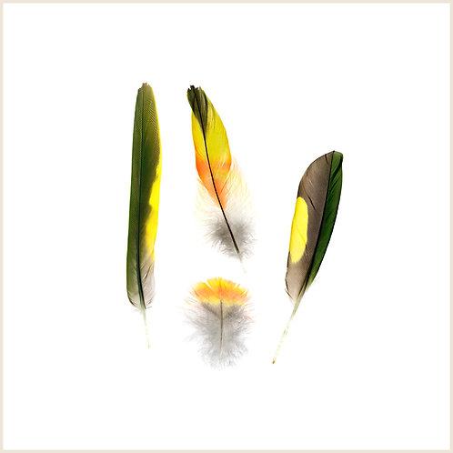 Rainbow Lorikeet Feather Montage