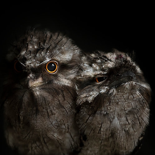 Tawny Frogmouth Fledglings