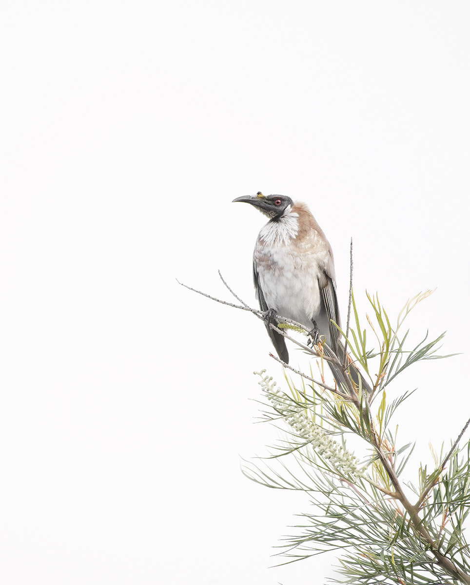 Noisy Friar Bird