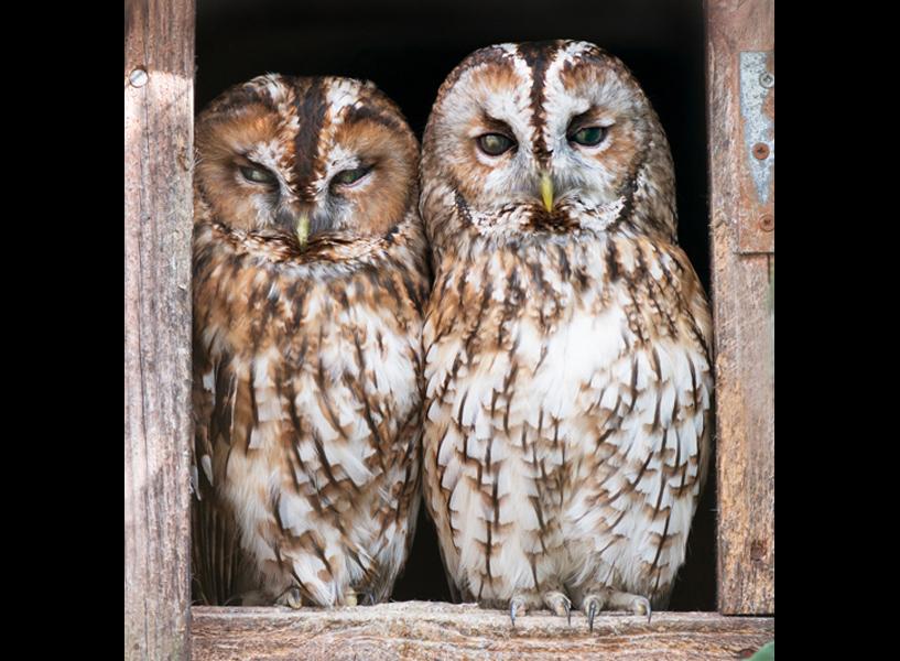 Tawny owls