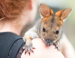Rescued Pademelon
