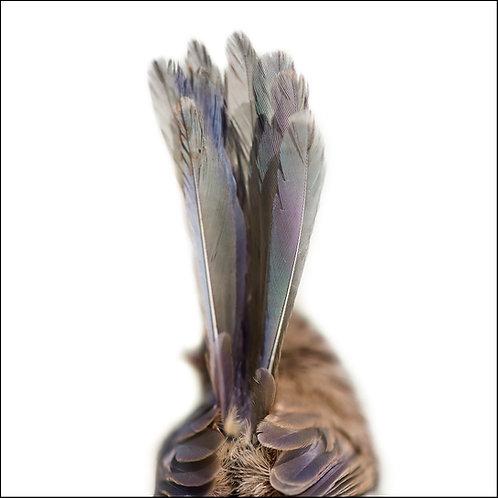 Fairy Wren from Behind