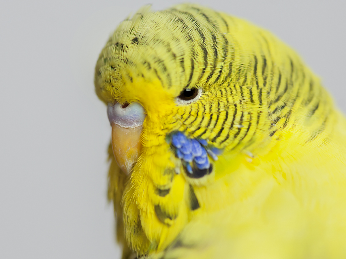 Magic, Budgie