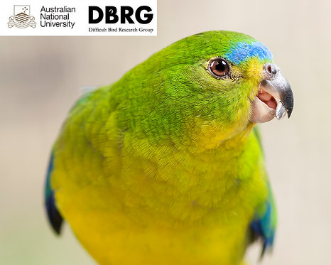 Orange Bellied Parrot Portrait