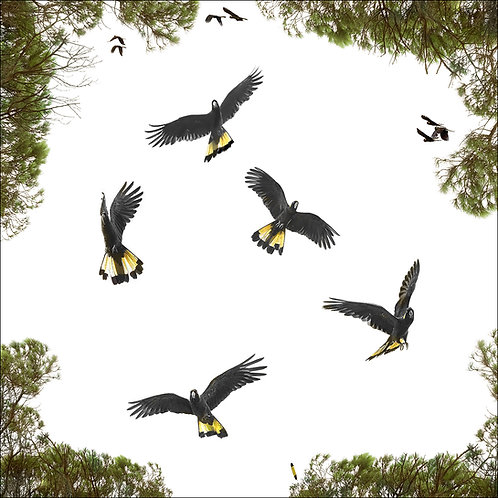 Dance of the Yellow-tails