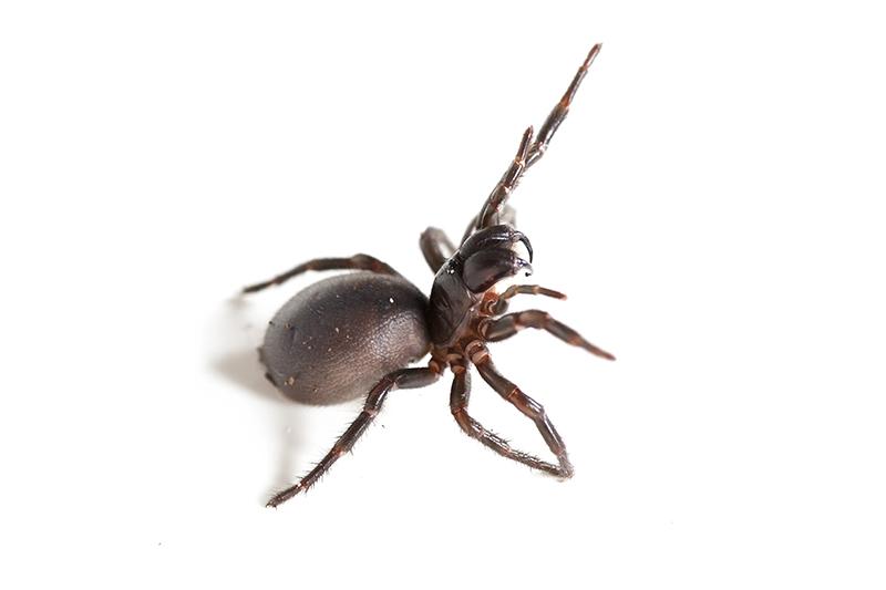 Funnelweb Spider