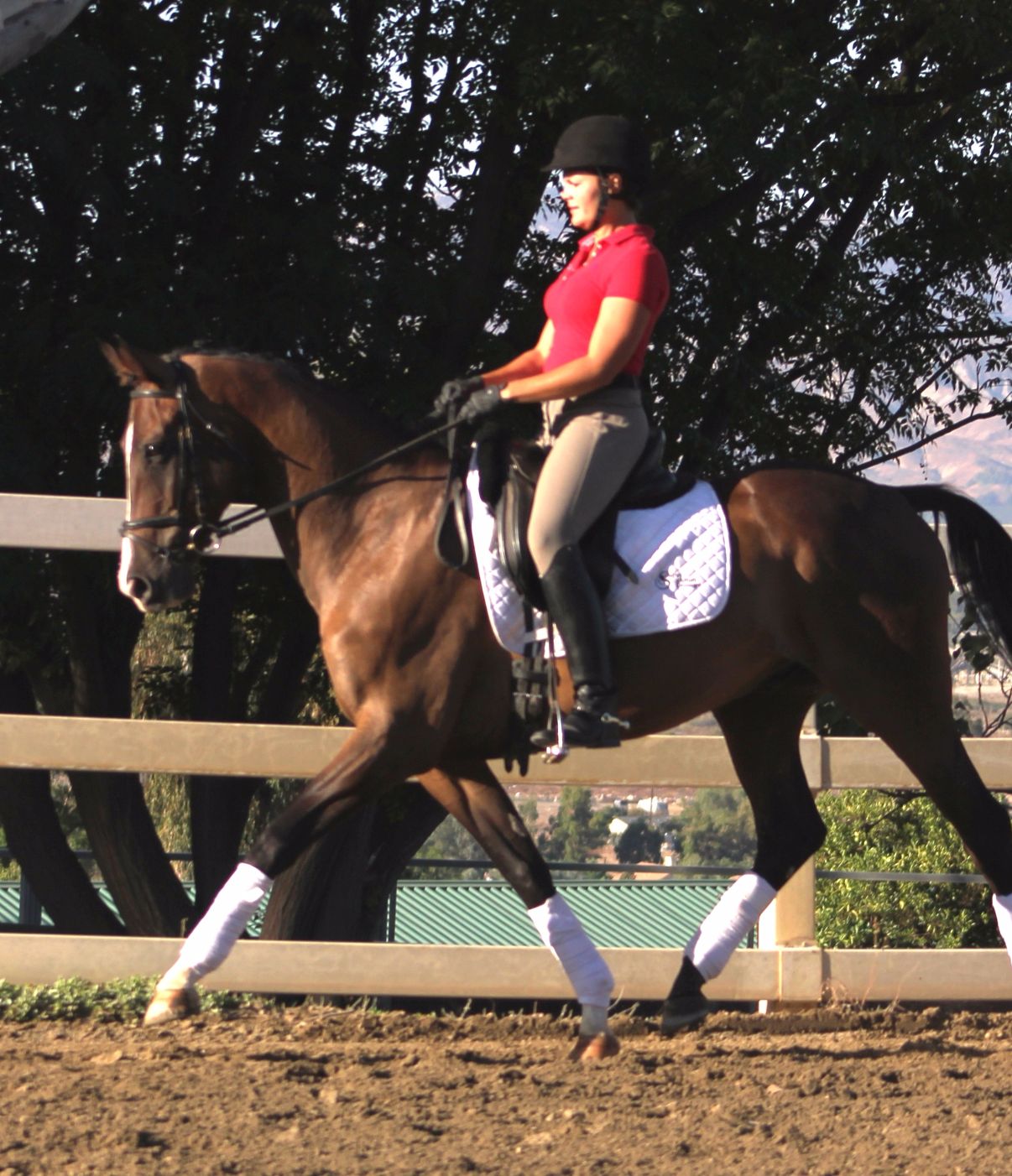Scotty - california dressage sales