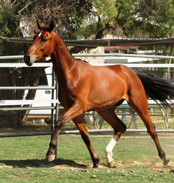 Leo young dressage horse for sale