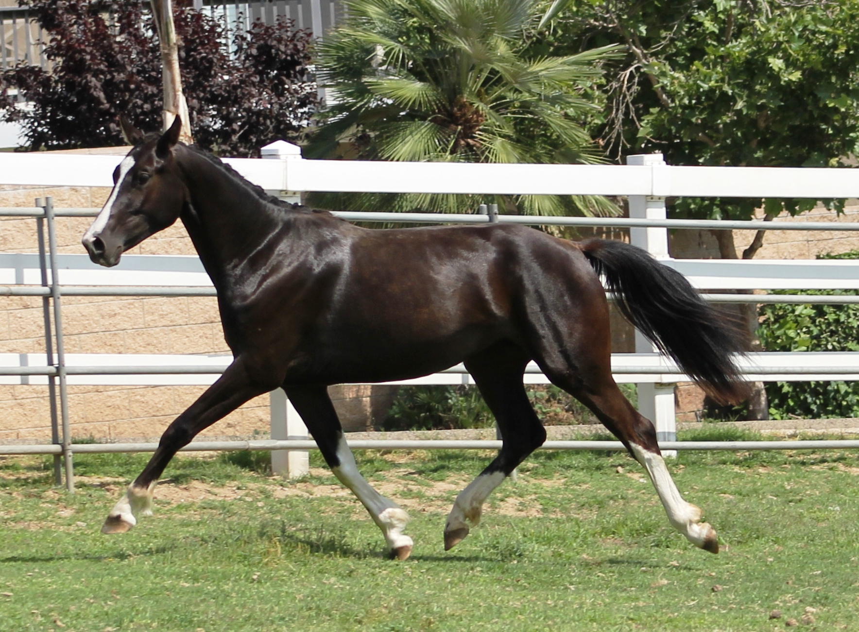 Gracie - dressage horse california