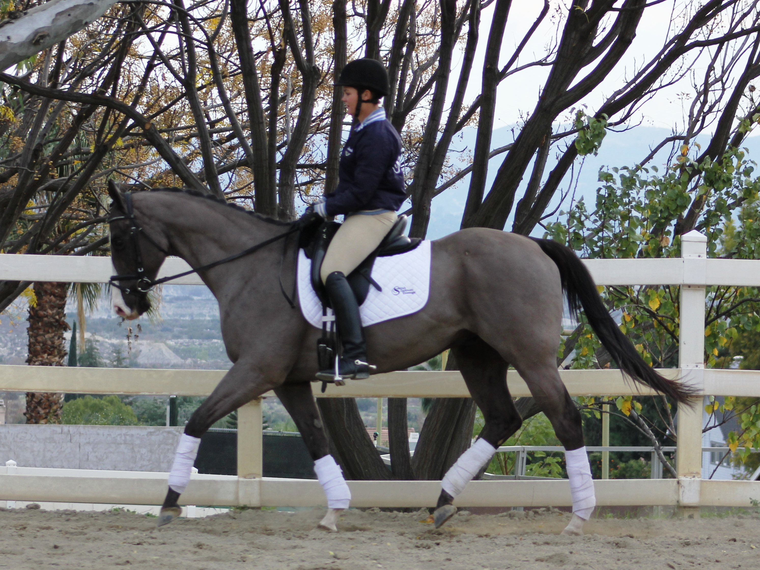 Bolardo dressage horse sold