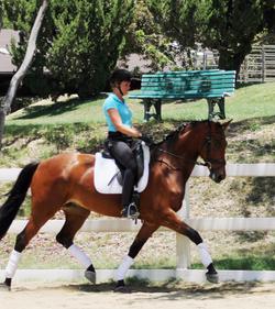 Indigo - dressage horse sales