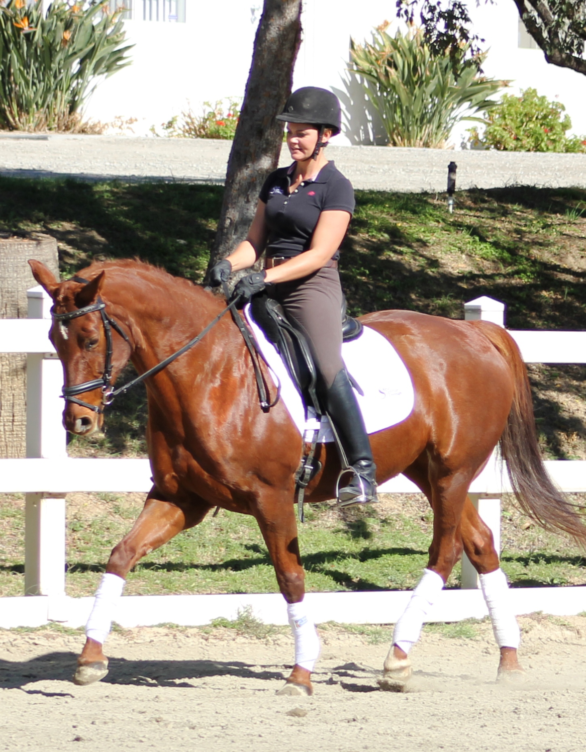 Diva - dressage horses for sale