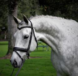 apollo dressage horses for sale