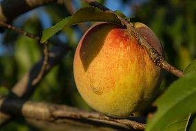 organic-farming-practices-peach.jpg