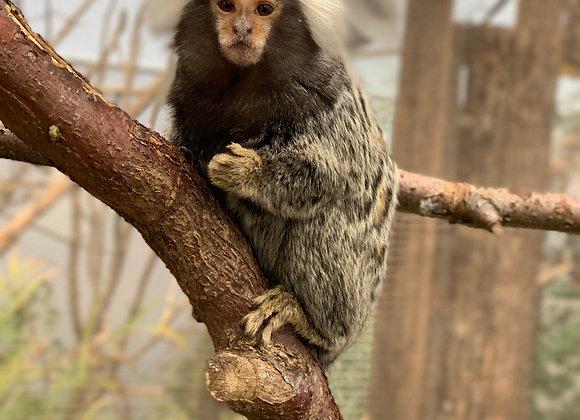 Adopt the Marmoset Monkeys