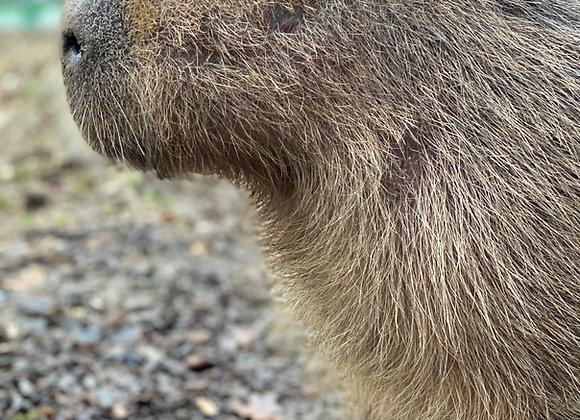 Meet Yondu the Capybara