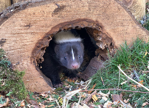 Adopt Bruce the Skunk