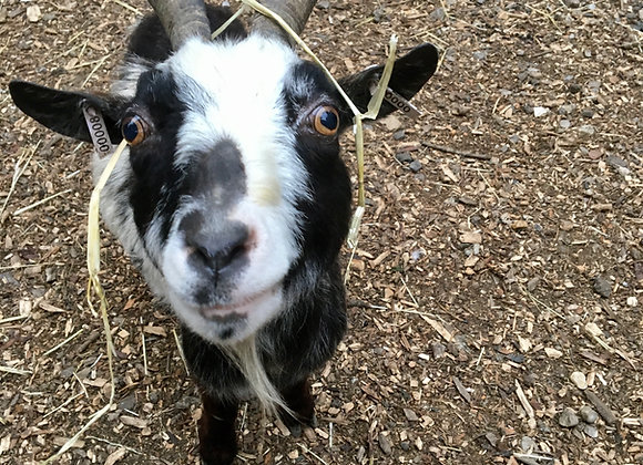 Adopt the African Pygmy Goats