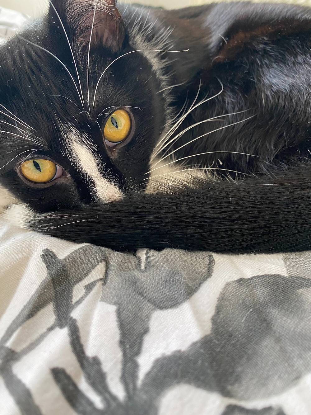 Bao, a black and white kitten with golden eyes stares at the camera.