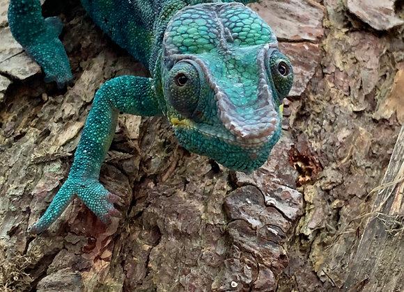 Adopt the Chameleon