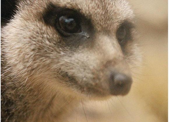 Adopt the Meerkat Mob