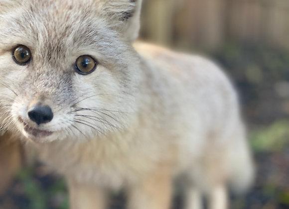 Meet the Corsac Foxes