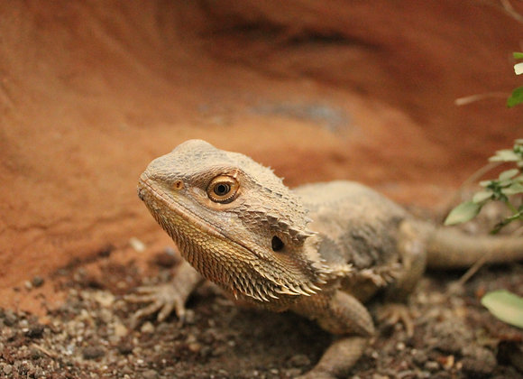 Adopt Blue the Bearded Dragon