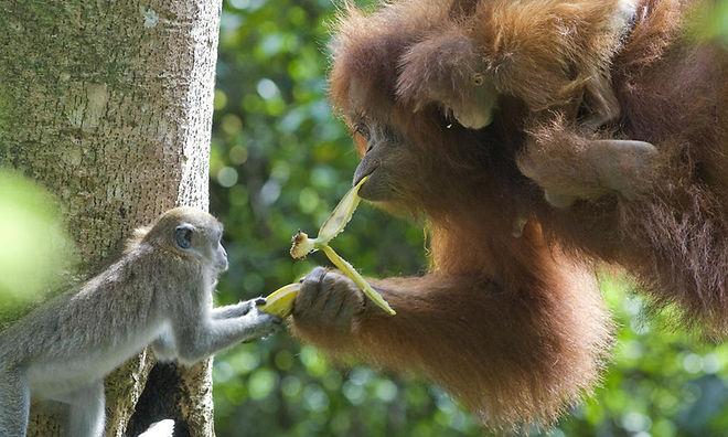 Sumatran_Orangutan_8.6.2012_Why_They_Mat