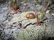 Cromwell Chafer Beetle