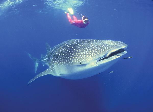 whale-shark-snorkeler-Australia-coast.jp